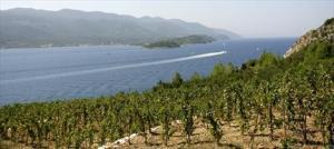 Pelješac vinograd